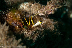 BD-151223-Dauin-9324-Dardanus-lagopodes-(Forskål.-1775)-[Reef-hermit-crab].jpg